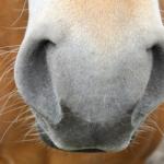 フクロモモンガの鼻の色が紫や白って?